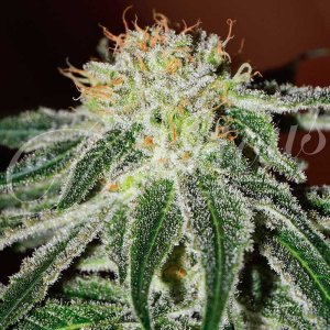 BLACK RUSSIAN Fem Delicious Seeds