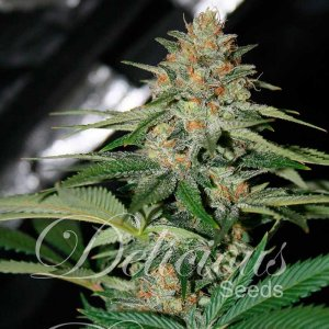 CHEESE CANDY Fem 1