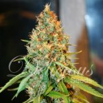 CRITICAL KALI MIST Fem Delicious Seeds