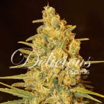 CRITICAL SENSI STAR Fem Delicious Seeds