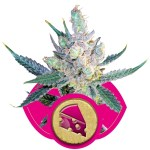 Royal Cheese FAST Royal Queen Seeds