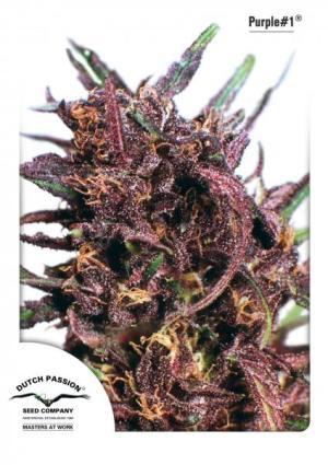 Purple #1 Fem