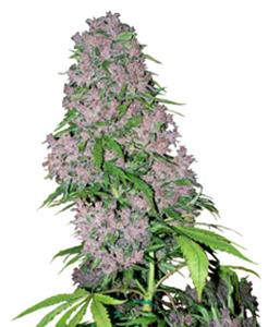 Purple Bud Fem 3