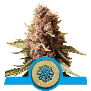 Euphoria Fem Royal Queen Seeds