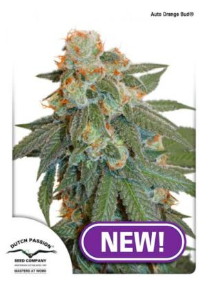 Auto Orange Bud auto Dutch Passion