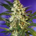 Fast Bud #2 Auto Sweet Seeds