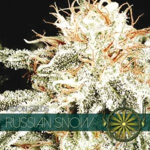 Russian Snow Fem Vision Seeds