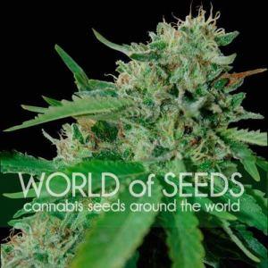 BRAZIL AMAZONIA Fem World of Seeds