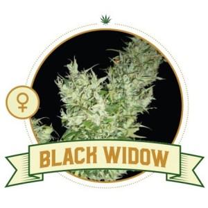 Black Widow Fem City Seeds Bank