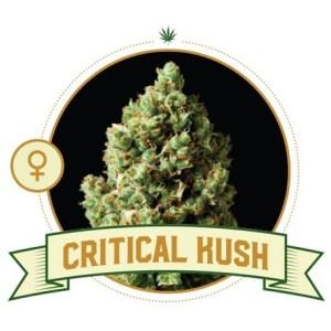 Critical Kush Fem City Seeds Bank