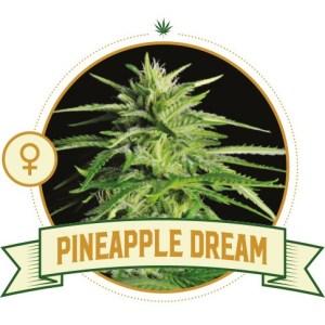 Pineapple Dream Fem City Seeds Bank