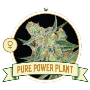Pure Power Plant Fem City Seeds Bank