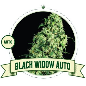 Black Widow Auto City Seeds Bank