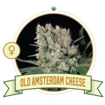 Old Amsterdam Cheese Fem City Seeds Bank