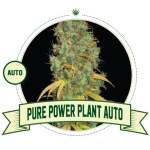 Pure Power Plant Auto City Seeds Bank