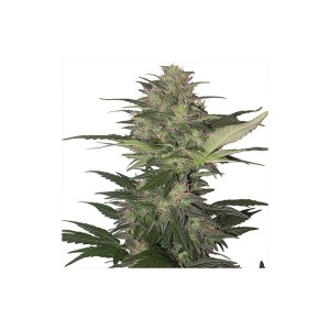 RED DWARF Auto Buddha Seeds