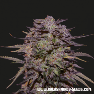Purple Russian Express Fast Kalashnikov Seeds