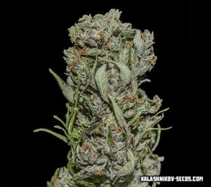 White Critical Express Fast Kalashnikov Seeds