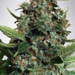 Autopilot XXL Auto Ministry of Cannabis