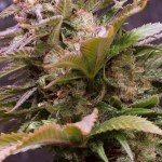 Vision Caramelo Auto Vision Seeds