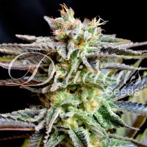 SUGAR BLACK ROSE® Fem Delicious Seeds