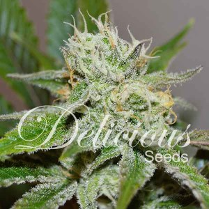 ORIGINAL JUAN HERER® Fem Delicious Seeds