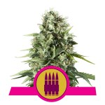 Royal Ak Fem Royal Queen Seeds