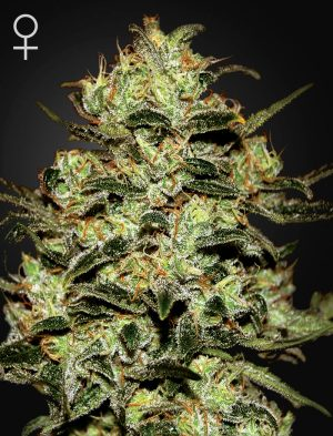 Moby Dick Fem Green House Sedds Co