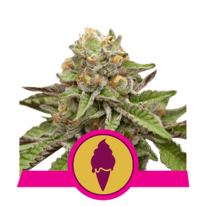 Green Gelato FEM USA Premium Royal Queen Seeds