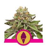 Green Gelato FEM USA Premium Royal Queen Seeds