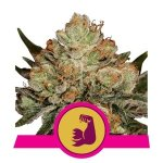 HulkBerry FEM USA Premium Royal Queen Seeds