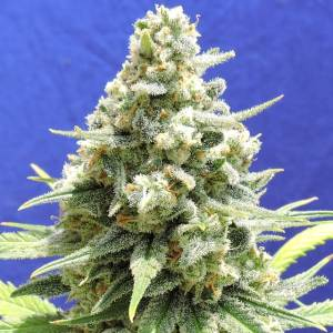 Amnesia Lemon Kush Fem ORIGINAL SENSIBLE SEEDS