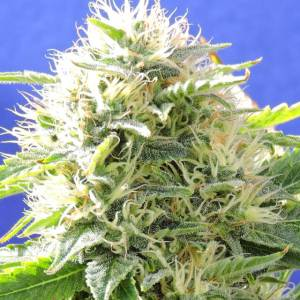 Black Destroyer Fem ORIGINAL SENSIBLE SEEDS
