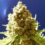 Pure Kush Fem ORIGINAL SENSIBLE SEEDS