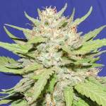 Wedding Cake Fem ORIGINAL SENSIBLE SEEDS