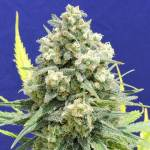White Critical Fem ORIGINAL SENSIBLE SEEDS