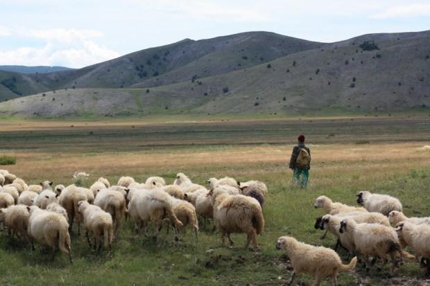 01102016-stado-ovce-blidinje8
