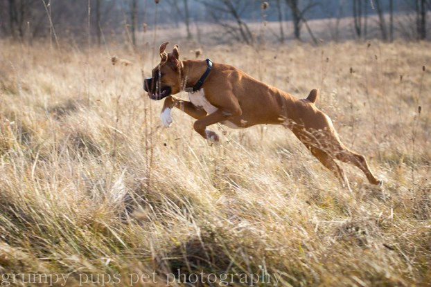 boxer dog leaping into grass