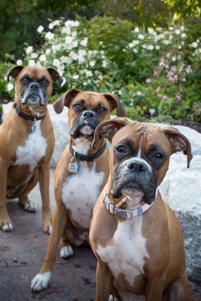 three boxer dogs, flashy fawn with black masks, grumpy pups pet photography