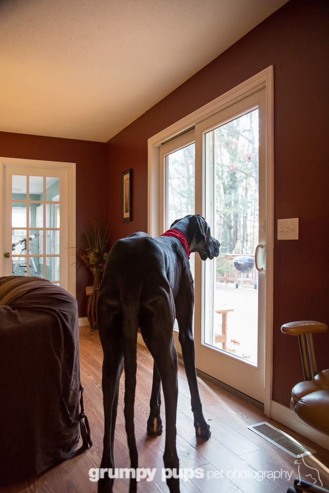 Zeus Worlds Tallest Dog Dogs Unleashed Great Dane Photography