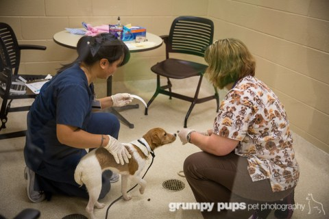 Rescued puppy mill dog is inspected upon arrival at Kent County Animal Shelter, grumpy pups pet photography
