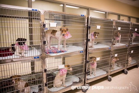 Jack Russell Terriers wait for adoption, Kent County Animal Shelter, grumpy pups pet photography