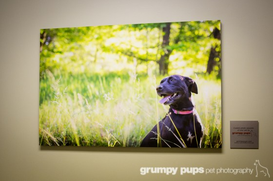 grumpy pups pet photography display at southkent veterinary hospital in byron center, michigan