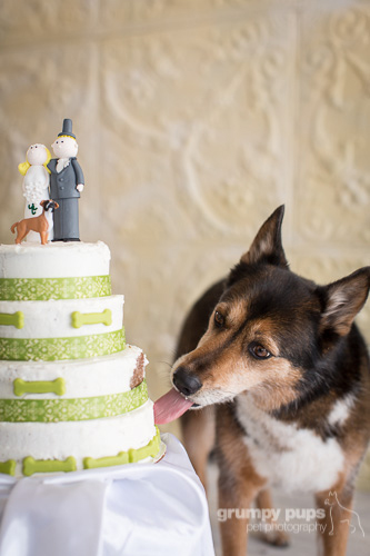 dog licking wedding cake, grumpy pups pet photography