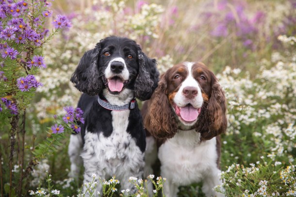 Springer spaniels in a field of Michigan wildflowers