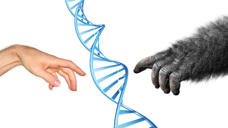 Human and gorilla hands touching DNA