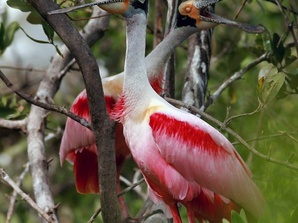 Dos aves espátulas sobre una rama