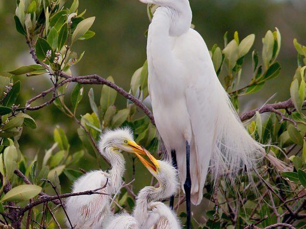 Garza sobre un árbol con sus dos crías