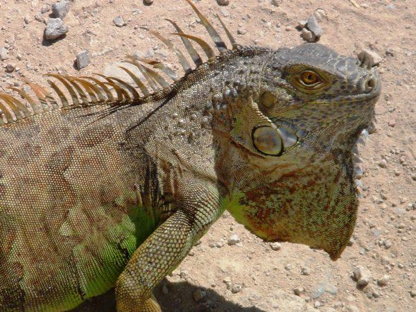 Primer plano de un reptil iguana