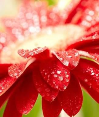 flor-rocio